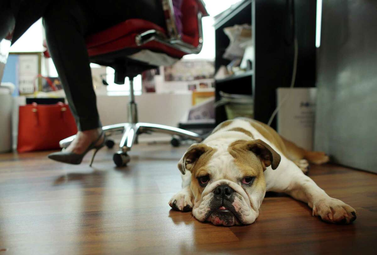 """Rosie sits under the desk of owner Barbara Goldberg. """"Everyone seems to smile and immediately become a little bit happier,"""" Goldberg says of her bulldog."""
