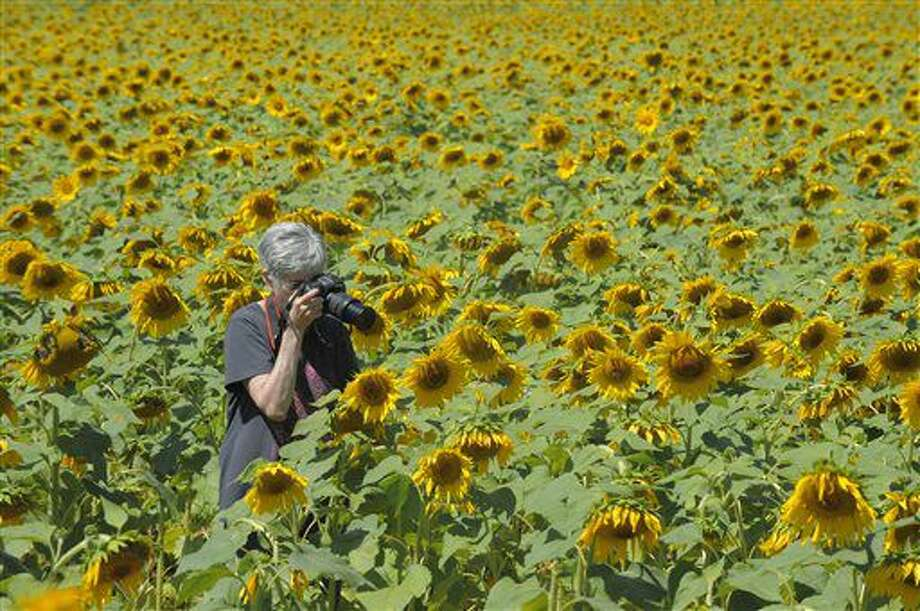 In a Sept. 6, 2016 photo, retired photography teacher Kristi Eisenberg, of Rising Sun, photographs a field of sunflowers on Jarrettsville Pike near Hess Road to use as her photo post for the day in Jarrettsville, Md. Once a charming local secret, sunflower seeking has become an Instagram- and Facebook-fueled phenomenon, with picture-taking hordes overrunning parts of Maryland's countryside. (Kenneth K. Lam/Baltimore Sun via AP)