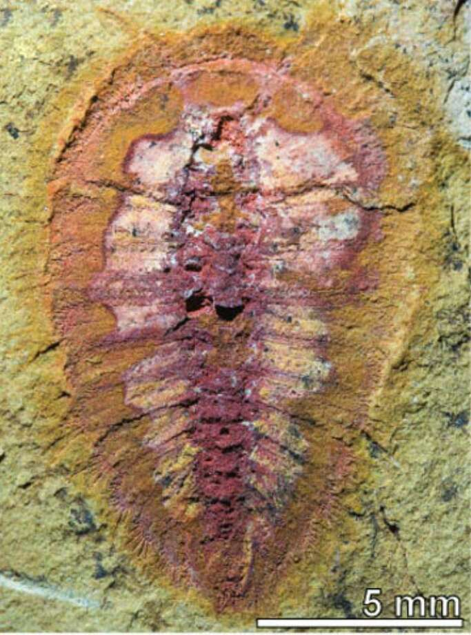Among the the 1,500 fossils collected in Morocco by the Yale team of Peter Van Roy and Derek Briggs is this quarter-inch-long cheloniellid arthropod, a distant relative of the shrimp and crabs of today. It lived in the sea. Photo: Contributed Photo / Connecticut Post Contributed