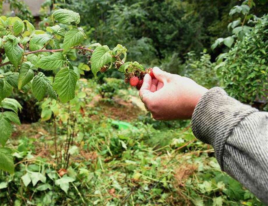 In this Sept. 1, 2016 photo, Sarai Stevens plucks raspberries from a bush in her forest garden, in Sedro-Wooley, Wash. Stevens is a member of the recently formed nonprofit Woolley Food Forest Association, which seeks to create a food forest to the Helping Hands Food Bank in Sedro-Woolley. (Christina Becker /Skagit Valley Herald via AP)