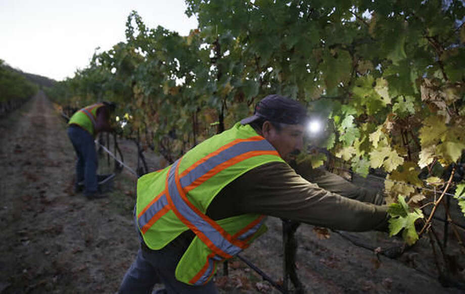 Pickers reach for Cabernet Sauvigon grapes in the Dragon's Terrace vineyard during harvest at the Quintessa winery Wednesday, Sept. 28, 2016, in Rutherford, Calif. Harvest began at the Napa Valley winery on September 8 and will continue through October. A fantastic vintage for 2016 is expected. (AP Photo/Eric Risberg)