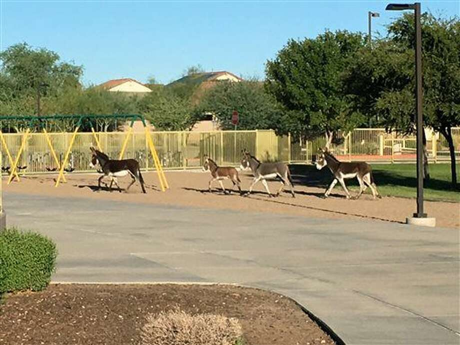 Four burros walk on the grounds of Vistancia Elementary School in Peoria, Ariz., on Thursday, Sept. 15, 2016. The animals were there briefly before exiting through a side gate. (Dustin Hamman via The AP)