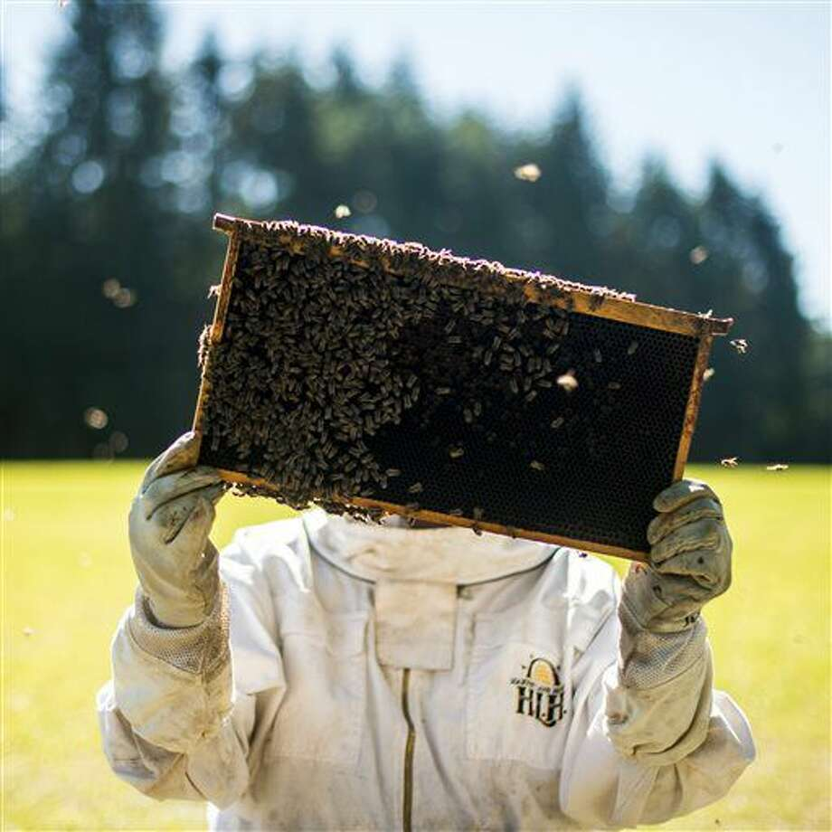 In this Sept. 10, 2016 photo, a beekeeper examines a hive frame for signs of colony health heading into fall and winter during an instructional event put on by the Lewis County Beekeepers Association on a farm in Napavine, Wash. Beekeepers grapple with the mystery of colony collapse disorder, the scourge of mites, the constant threat of predators, and a slew of other problems that come with raising these insects. (Jordan Nailon/The Chronicle via AP)