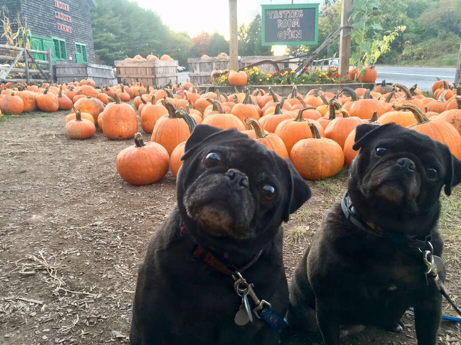 Dexter and Caroline of Albany enjoy the apple picking, pumpkin selection, delicious cider donuts and visiting with the farm animals at Indian Ladder Farms in Altamont. (Photo by Tara Jackson, submitted by Wendy Meola)