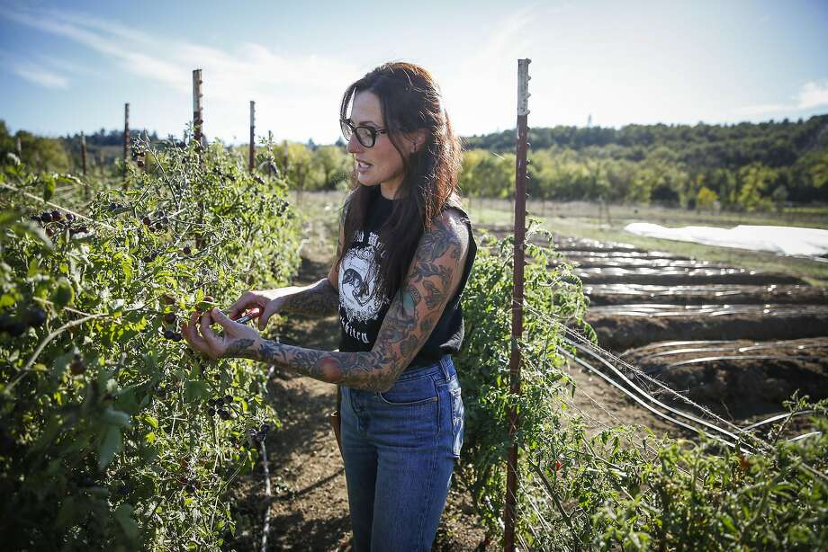 Katina Connaughton harvests tomatoes at SingleThread Farm on Friday, Oct. 21, 2016 in Healdsburg, Calif. Produce from the farm is used at the SingleThread restaurant. Photo: Russell Yip, The Chronicle