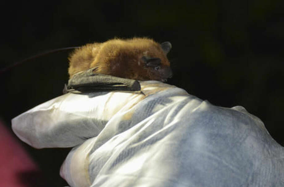 This July 14, 2016, photo provided by the Wisconsin Department of Natural Resources shows an evening bat, a new bat species state DNR researchers discovered living in the hollow of trees in Avon Bottoms State Natural Area in Rock County, Wis. It is the first new bat species found in Wisconsin in 60 years. (Heather Kaarakka/Wisconsin Department of Natural Resources via AP)
