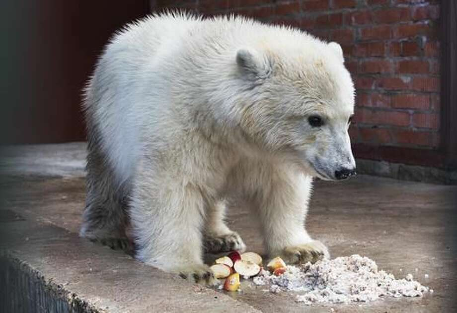 Polar bear Nika eats in her enclosure in a Moscow's Zoo facility outside Moscow, Russia, Tuesday, Sept. 20, 2016. The polar bear rescued by the Russian Defence Ministry in Russia's Far East last week has been settled in the Zoo facility outside Moscow. (AP Photo/Pavel Golovkin)