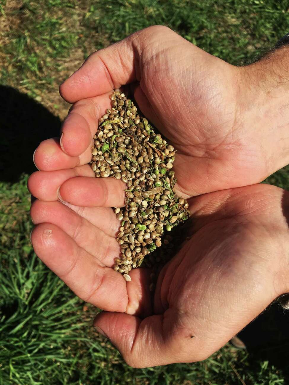 This Sept. 25, 2016 photo, shows seeds from the first legal crop of industrial hemp grown on JD Farms in Eaton, N.Y. JD Farms in central New York harvested the state?'s first legal hemp this fall under a university research partnership. (AP Photo/Mary Esch) ORG XMIT: RPME102