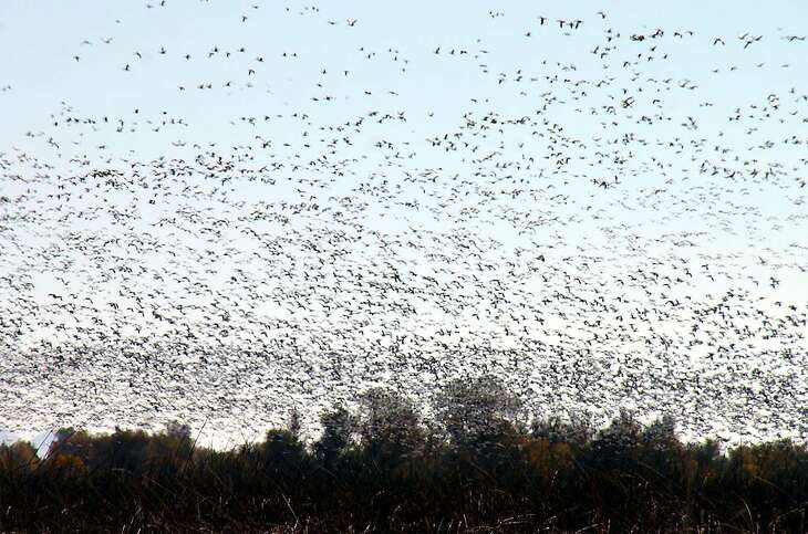 300,000 geese -- mostly snow geese -- lift up in en masse fly out at Sacramento National Wildlife Refuge in the Sacramento Valley near Maxwell, just east of Interstate 5. December rains have revived wetlands and wildlife refuges, and provided a landing spot for 1 million ducks and 300,000 geese on the refuge complex this month. At dusk, they often fly out en masse to feed at night at nearby rice fields.