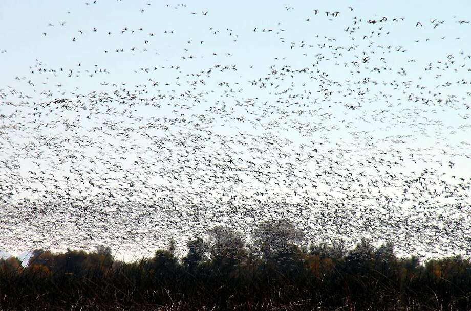 """300,000 geese -- mostly snow geese -- lift up in en masse fly out at Sacramento National Wildlife Refuge in the Sacramento Valley near Maxwell, just east of Interstate 5. December rains have revived wetlands and wildlife refuges, and provided a landing spot for 1 million ducks and 300,000 geese on the refuge complex this month. At dusk, they often fly out en masse to feed at night at nearby rice fields. Photo: Mike Peters / Special To """"The Chronicle"""