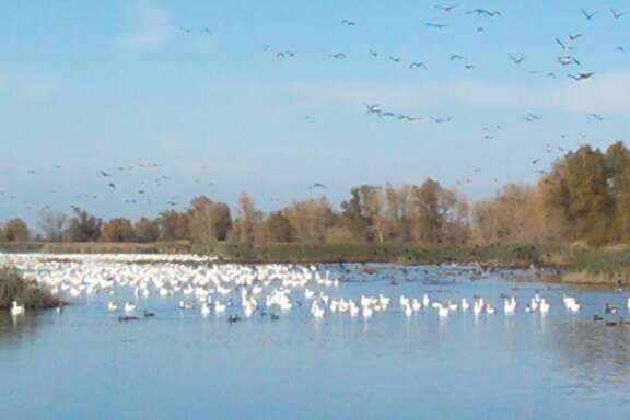 Snowgeese at Colusa National Wildlife Refuge, part of the Sacramento National Wildlife Refuge complex.