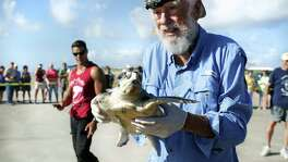 Tony Amos, Director of the ARK, Animal Rehabilitation Keep in Port Aransas, carries a small turtle, one of three he and volunteers released on Saturday, Oct. 15, 2016, on a stretch of beach that has been named Tony Amos Beach at marker 35 in Port Aransas, TX.   The turtle had lost a front flipper after being tangled in fishing line. Turtles and other area wildlife are rescued and rehabilitated at the ARK before being released back into their natural habitate.