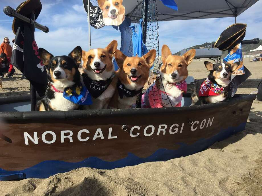 "Corgis test out the ""waters"" while aboard the Norcal Corgi Con boat. Photo: Courtesy Karen Hom / @orangecorgi"