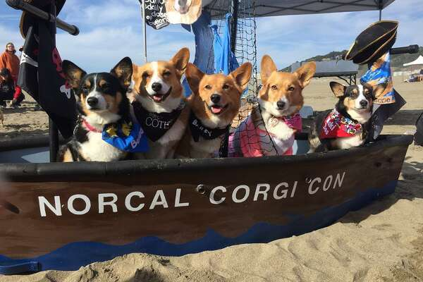 "Corgis test out the ""waters"" while aboard the Norcal Corgi Con boat."