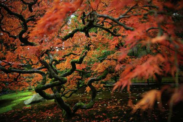 Scenes from the Maple Viewing Festival at the Seattle Japanese Gardens, Sunday, Oct. 23, 2016.