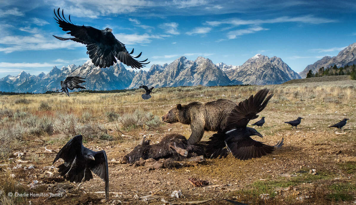 Wild West stand-off: Charlie Hamilton James, UK / Wildlife Photographer of the Year Finalist.