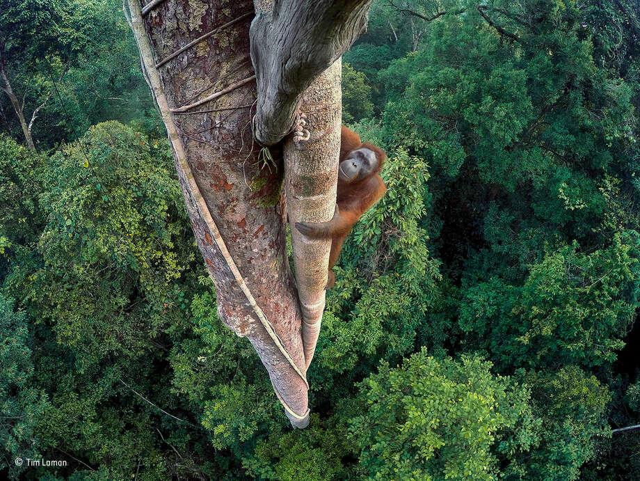 Tim Laman, USA, Winner, Wildlife Photographer of the Year 2016. Photo: Tim Laman