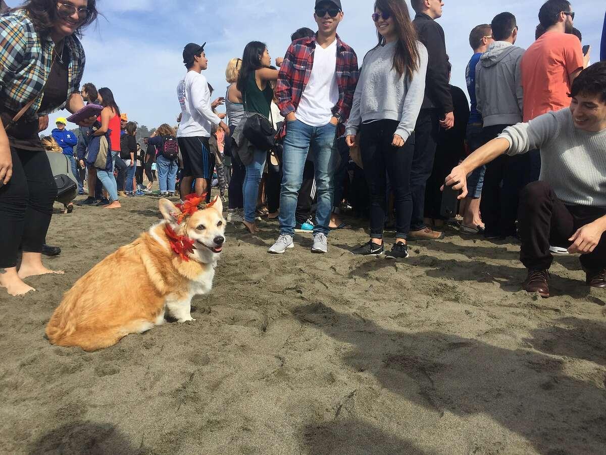 Cuddles was a popular corgi at CorgiCon on Saturday, Oct. 22, at Ocean Beach.