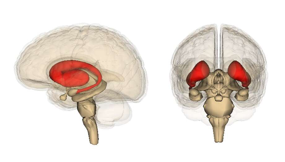 The striatum is a target for drugs. (LifeScience Databases, via Wikimedia Commons. CC BY-SA 2.1 JP)