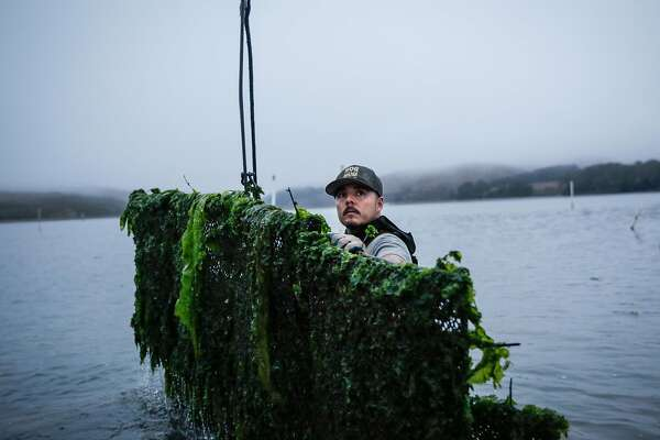 Hog Island Oyster Company employee Wilber Mejia pushes a bag of farmed oysters onto a boat during a morning of harvesting in Marshall, California, on Wednesday, Oct. 12, 2016. The bags are taken back to the company's Marshall headquarters, where the oysters are processed and prepared for sale.