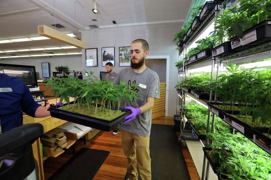 Above: Ian Almerico carries a tray of cannabis clones at Harborside, a medical marijuana dispensary in Oakland, Calif. Opinion polls are showing five states, including California and Massachusetts, may vote to legalize recreational marijuana on Election Day. Below: Yvonne Varela weighs cannabis to fill joints at Harborside. California's vote will be watched particularly closely because of the economic ramifications it could cause. Photo: JIM WILSON, STF / NYTNS