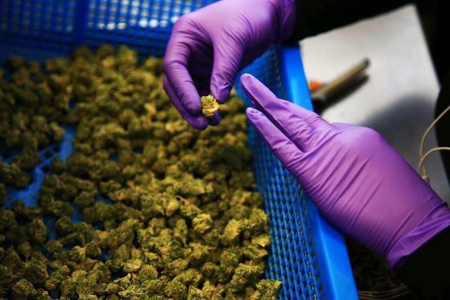 Marijuana is sorted at Harborside, a dispensary in Oakland. Photo: JIM WILSON, NYT