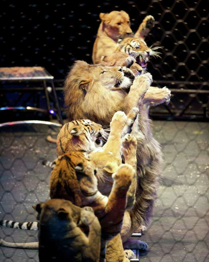 Alexander Lacey's big cats (Courtesy Ringling Bros. and Barnum & Bailey)