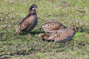 Three consecutive years of beneficial rains and resulting good habitat conditions have helped boost quail populations in parts of Texas to levels not seen in a generation or more. Hunters should soon reap the benefits.