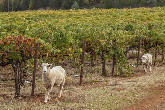 Shannon Ridge Family of Wines use sheep to maintain the growth between rows of vine in their vineyards surrounding the Vigilance tasting room in Lower Lake , California, USA 22 Oct 2016. (Peter DaSilva/Special to The Chronicle)