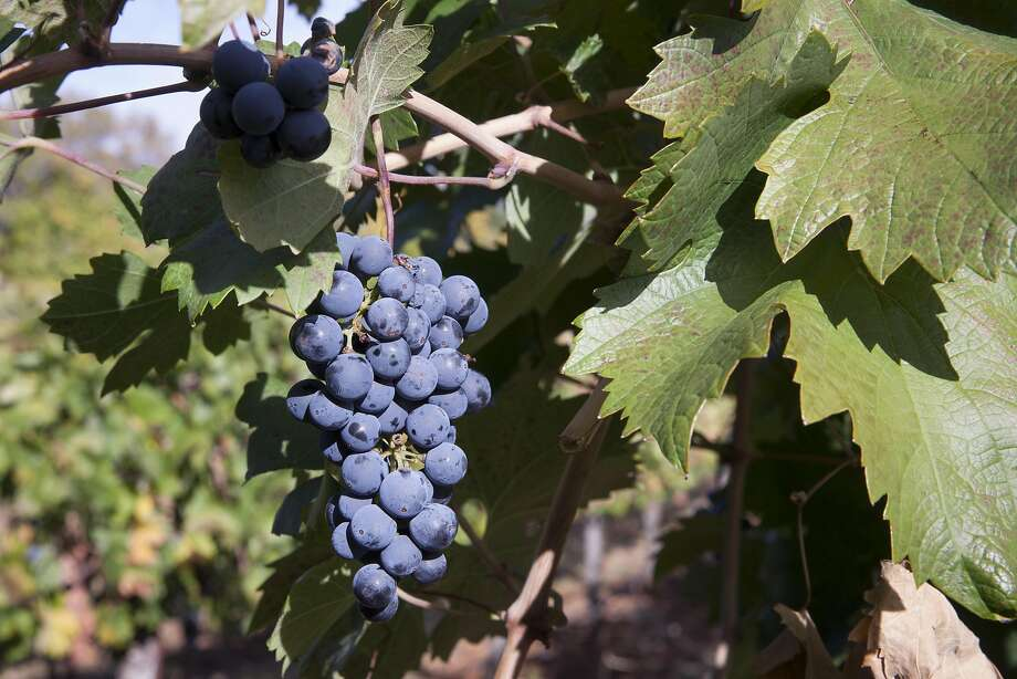Grapes on teh vine at Gregory Graham winery in Lower Lake. Photo: Peter DaSilva, Special To The Chronicle