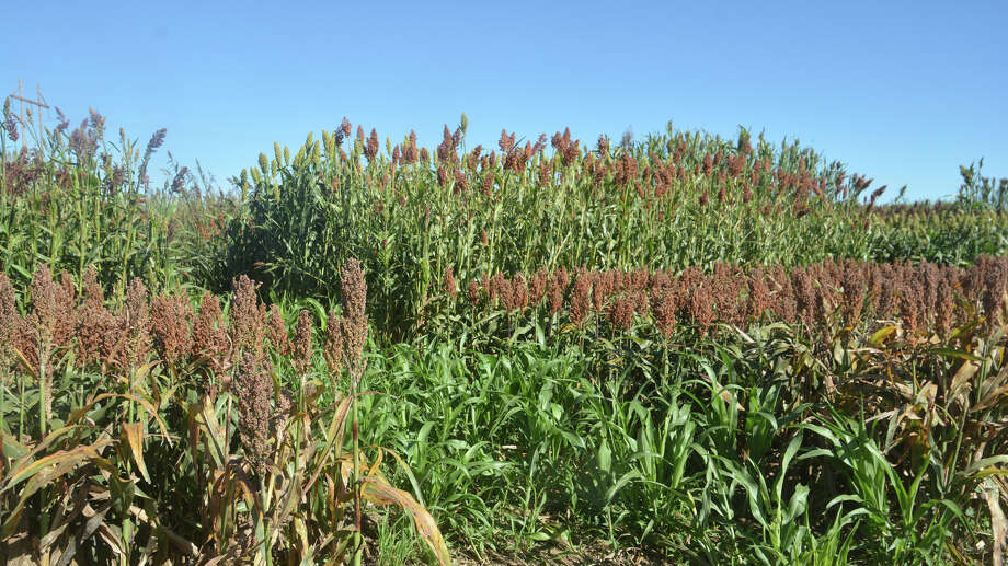 Forage sorghum trials being conducted by Texas A&M AgriLife are looking at management, varietal selection and sugarcane aphid damage. /