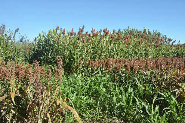 Forage sorghum trials being conducted by Texas A&M AgriLife are looking at management, varietal selection and sugarcane aphid damage.