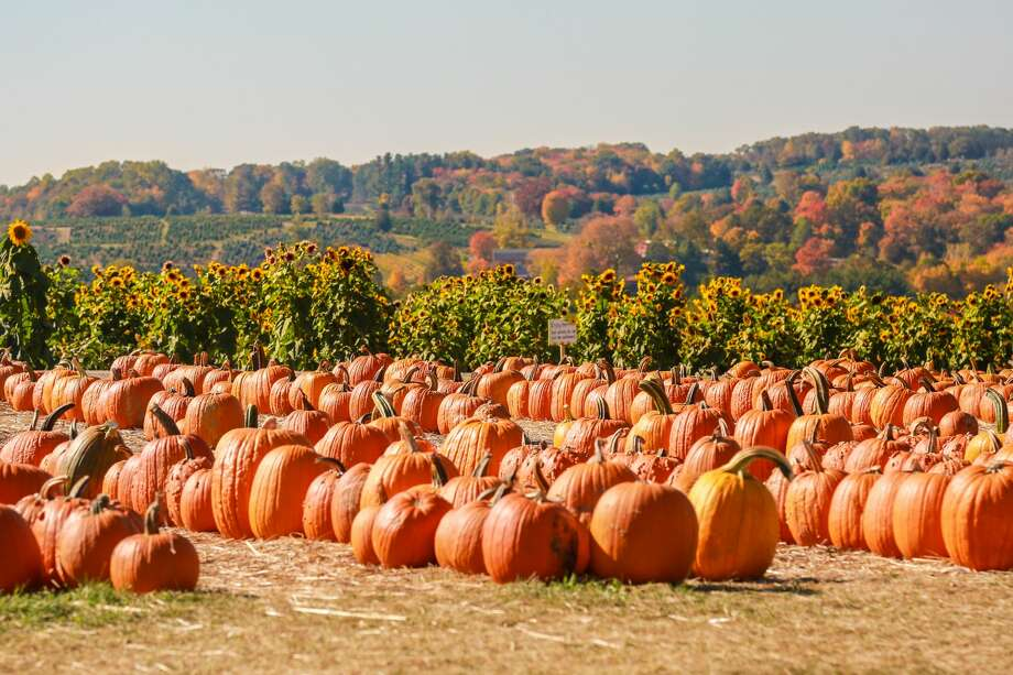 Jones Pumpkinseed Hill Farm in Shelton, CT on October 19, 2016.  Photo: Derek T. Sterling