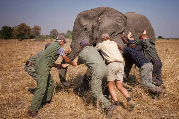 """MALAWI - UNDATED: (NO SALES) This handout image released by Kensington Palace on October 28, 2016 shows Prince Harry while he worked in Malawi with African Parks as part of an initiative involving moving 500 elephants over 350 kilometers across Malawi from Liwonde National Park and Majete Wildlife Reserve to Nkhotakota Wildlife Reserve. Prince Harry says of the picture: """"A few of us trying to 'tip an elephant'. This young male was fighting the sedative drug and was heading towards the trees, which would have made it very difficult for us to get him on the truck. All directions were taken from Kester Vickery from Conservation Solutions and Andre Uys, the vet.""""  (Photo by African Parks/Frank Weitzer / Kensington Palace via Getty Images)"""