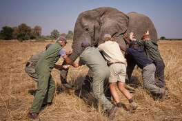 "MALAWI - UNDATED: (NO SALES) This handout image released by Kensington Palace on October 28, 2016 shows Prince Harry while he worked in Malawi with African Parks as part of an initiative involving moving 500 elephants over 350 kilometers across Malawi from Liwonde National Park and Majete Wildlife Reserve to Nkhotakota Wildlife Reserve. Prince Harry says of the picture: ""A few of us trying to 'tip an elephant'. This young male was fighting the sedative drug and was heading towards the trees, which would have made it very difficult for us to get him on the truck. All directions were taken from Kester Vickery from Conservation Solutions and Andre Uys, the vet.""  (Photo by African Parks/Frank Weitzer / Kensington Palace via Getty Images)"