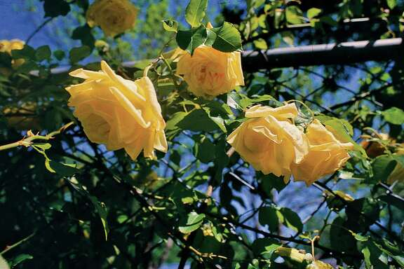 """""""Maréchal Niel"""" was a find for Bill Welch and Greg Grant during the early days of the Texas Rose Rustlers."""