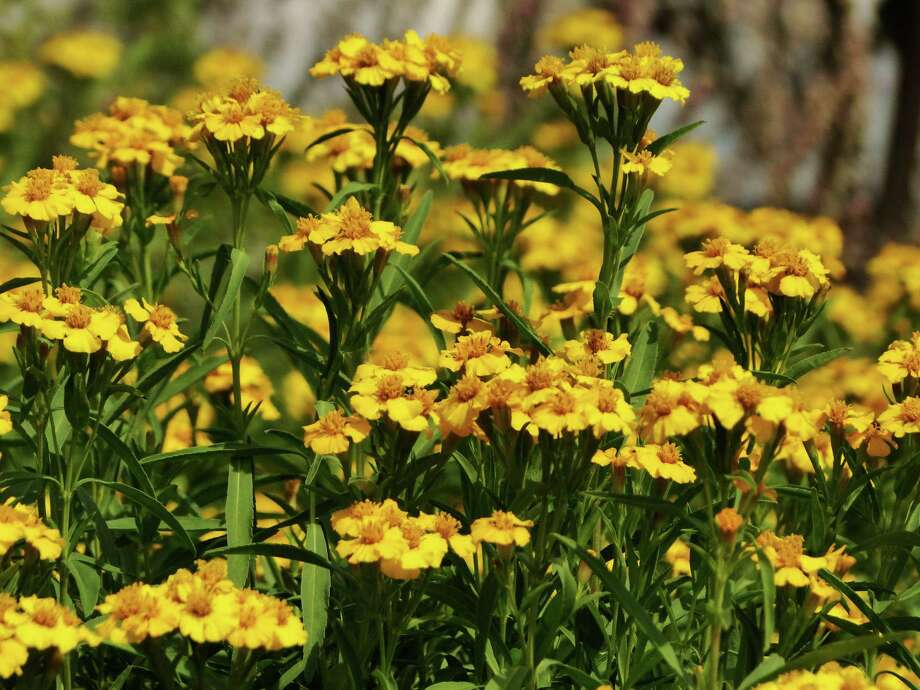 Pretty flowers and fragrant foliage are two assets of Mexican mint marigold, which is a fall-blooming perennial with leaves that can be used as a substitute for tarragon. Photo: Tracy Hobson Lehmann, Staff / San Antonio Express-News