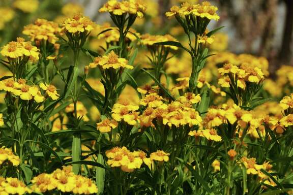 Pretty flowers and fragrant foliage are two assets of Mexican mint marigold, which is a fall-blooming perennial with leaves that can be used as a substitute for tarragon.