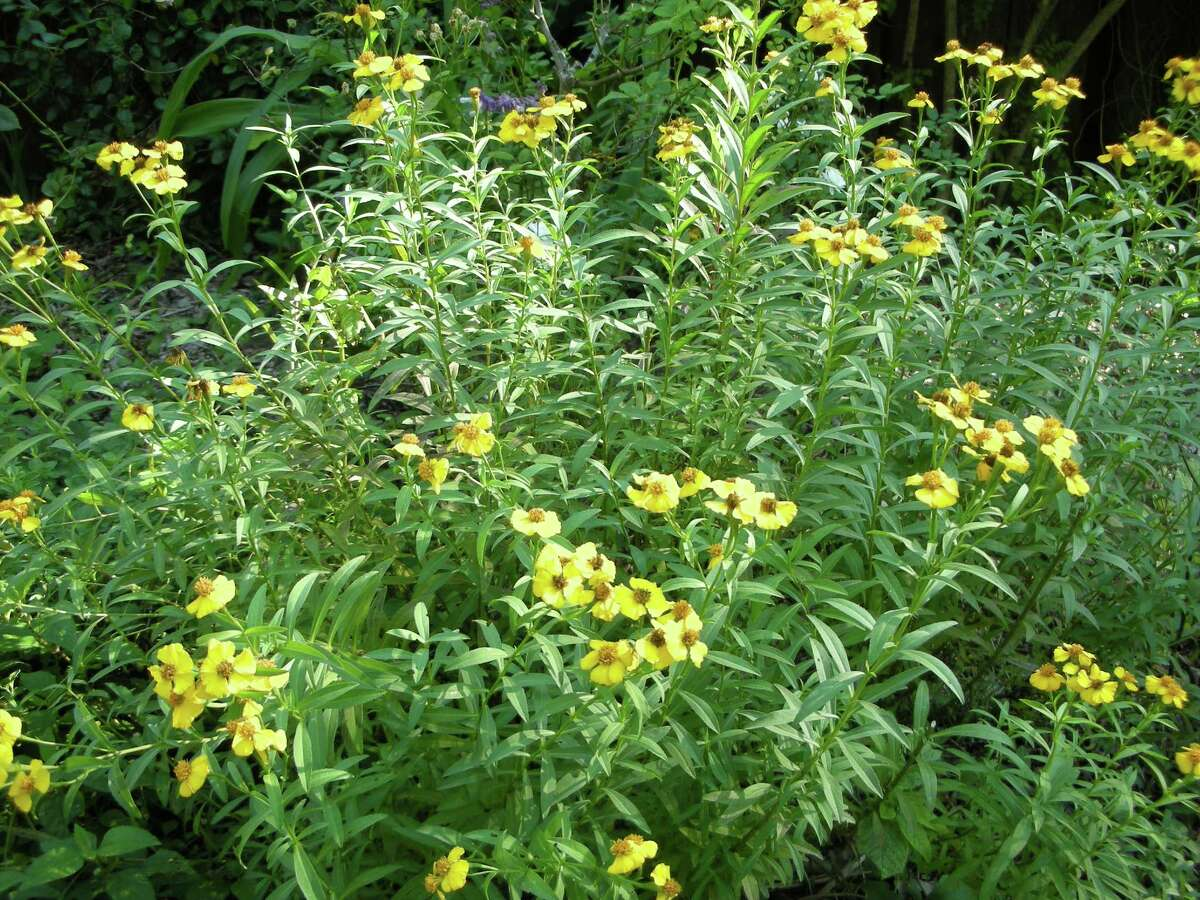 The 44th annual Herb Fair will feature a variety of herbs suitable for area gardens. Mexican mint marigolds are a hardy herb that can be harvested to use as