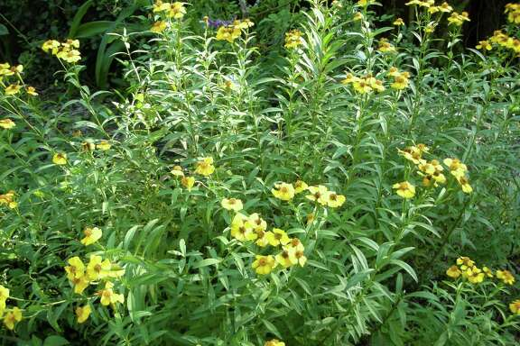 """The 44th annual Herb Fair will feature a variety of herbs suitable for area gardens. Mexican mint marigolds are a hardy herb that can be harvested to use as """"Texas tarragon."""""""