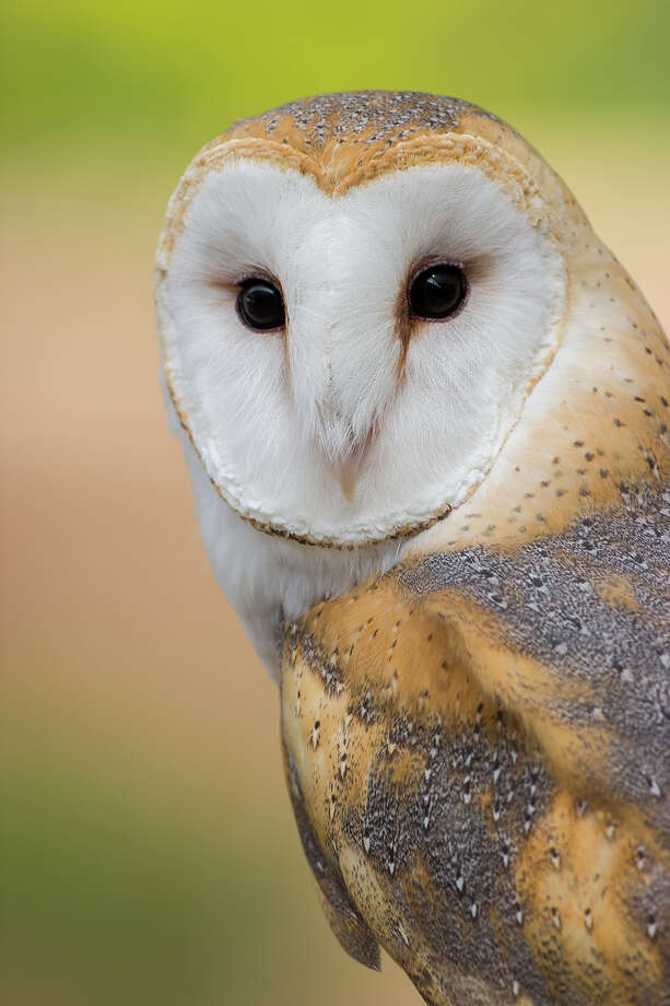Watch for the spooky barn owl when you're out and about this Halloween weekend. Photo: Kathy Adams Clark / Kathy Adams Clark/KAC Productions,
