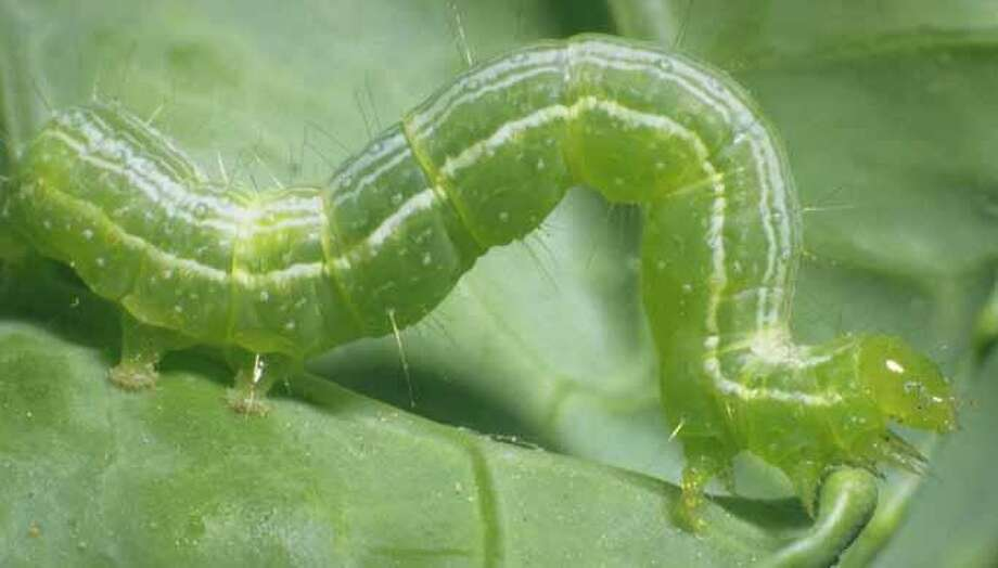 Cabbage looper Photo: Courtesy Texas A&M University