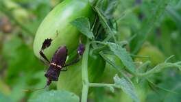 Like stink bugs, leaffooted bugs turn tomatoes to mush. The large, flying bugs can be difficult to control.
