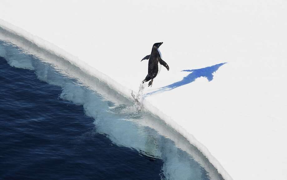 An Adelie penguin takes to the ice in an area of the Ross Sea that will soon become a marine sanctuary. Photo: JOHN WELLER, NYT