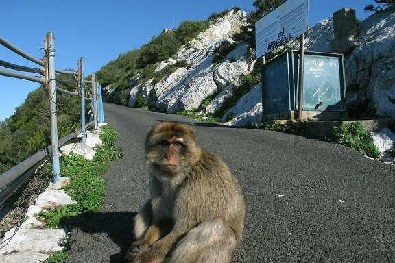 A Barbary macaque sits in the road up to the top of the Rock of Gibraltar. When the monkeys were dying off during World War II, Winston Churchill had some secretly imported to quell the superstition that when the monkeys leave, Gibraltar will fall from British hands.
