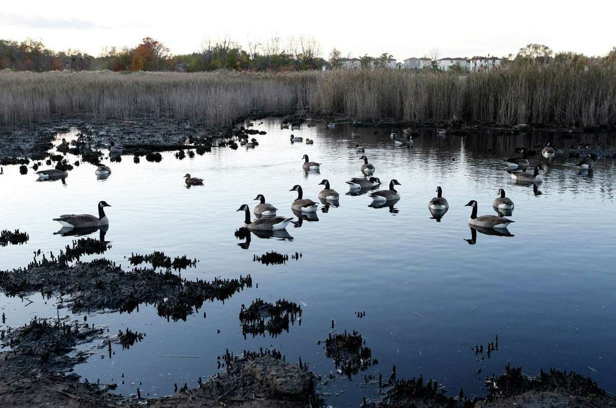 In this Tuesday, Oct. 25, 2016 photo, geese swim in the tidal marshland waters adjacent to Oakwood Beach in Staten Island, in New York, four years after Superstorm Sandy's deadly floodwaters coursed through the neighborhood's streets. Oakwood Beach, improbably built on a salt marsh, is slowly being returned to nature after state officials concluded it would be foolish to rebuild in a place with so little protection from the sea. Under a state buyout program, 196 homes have been demolished so far. Another 103 will soon meet the same fate. (AP Photo/Kathy Willens) ORG XMIT: NYKW208