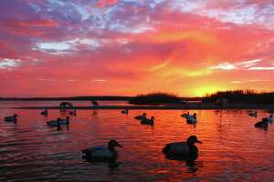 Good wetland habitat conditions across much of Texas and a continental duck population 38 percent above the long-term average have Texas waterfowlers optimistic about the 2016-17 duck and goose seasons which open Nov. 5 in the state's South Zone.