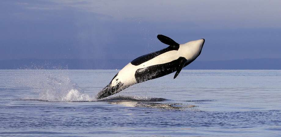 An Orca whale in Puget Sound. It is endangered, along with the Chinook salmon that are its food source. The Trump administration wants to zero out a $27 million federal investment in cleanup.  Photo: Elaine Thompson/AP