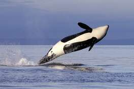 FILE - In this Jan. 18, 2014, file photo, a female orca leaps from the water while breaching in Puget Sound west of Seattle, as seen from a federal research vessel that has been tracking the whale. (AP Photo/Elaine Thompson, File)