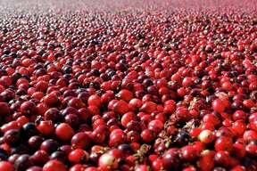 Cranberries are shown in a field in South Haven, Mich. In a new study, they didn't prevent or cure urinary infections in nursing home residents.